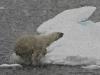 Polar bear gone for a swim