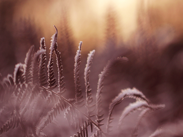 Frostiga ormbunkar