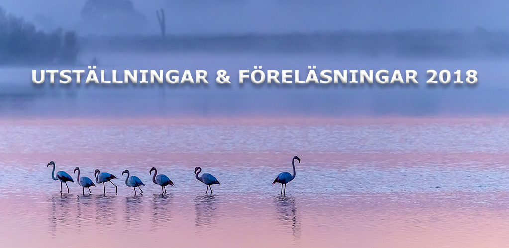 flamingo Hakan Utstall forelasn 2018